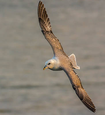 Photograph - Fulmar In Flight by David Attenborough