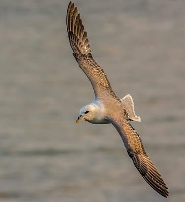 Photograph - Fulmar In Flight by David Attenborough