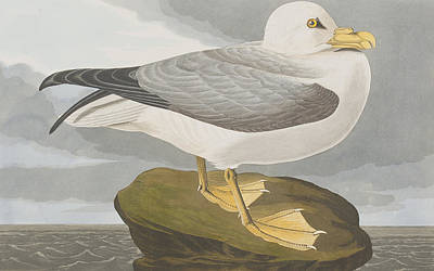 Cloudy Drawing - Fulmar Petrel by John James Audubon