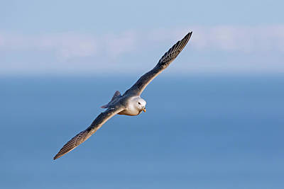 Photograph - Fulmar Soaring Over Sea by Arterra Picture Library