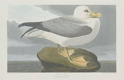 Seagull Drawing - Fulmer Petrel by Dreyer Wildlife Print Collections