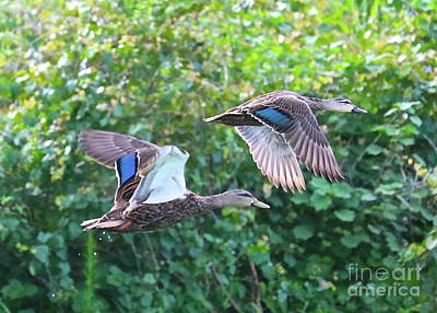 Photograph - Fun Flying Ducks by Carol Groenen
