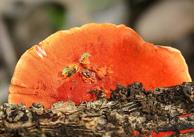 Photograph - Fungi Pycnoporus Coccineus by Tony Brown