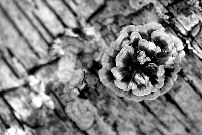 Photograph - Fungus Rosette Bw by Mary Bedy