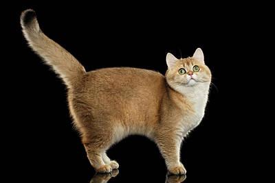 Cat Photograph - Funny British Cat Golden Color Of Fur by Sergey Taran