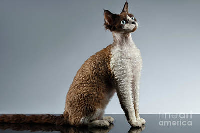 Funny Devon Rex Sits In Profile View On Gray  Print by Sergey Taran
