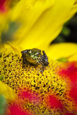 Photograph - Funny Frog On A Sunflower by Christina Rollo