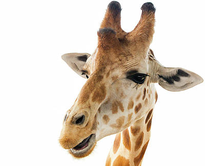 Funny Giraffe Art Print by Jennifer
