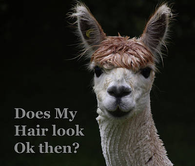 Photograph - Funny Hairstyle Alpaca by Tom Conway