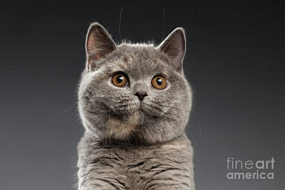 Funny Portrait Of Gray British Cat Print by Sergey Taran