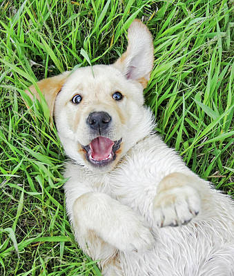 Photograph - Playful Puppy Labrador Retriever by Jennie Marie Schell