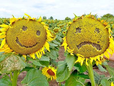 Blue Hues - Funny sunflowers by Hamik ArtS