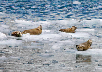 Photograph - Fur Seals On Ice by Phil Stone