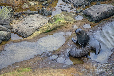Photograph - Fur Seals by Patricia Hofmeester