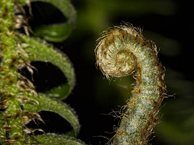 Photograph - Furled Fern by Jean Noren