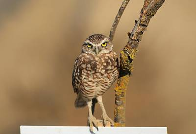 Photograph - Furry And Cute Burrowing Owl by Lynn Hopwood