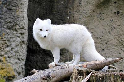 Furry Arctic Fox  Art Print