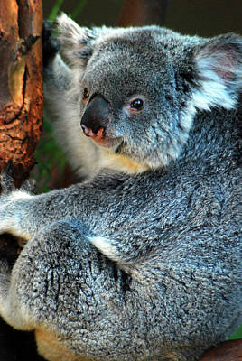 Photograph - Furry Koala by James Kirkikis