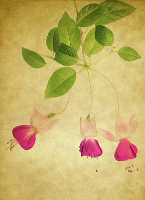 Photograph - Fuschia #3 by Rebecca Cozart