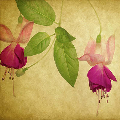 Fuschias Photograph - Fuschia #5 by Rebecca Cozart