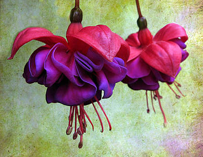 Fuschias Photograph - Fuschia by Jessica Jenney