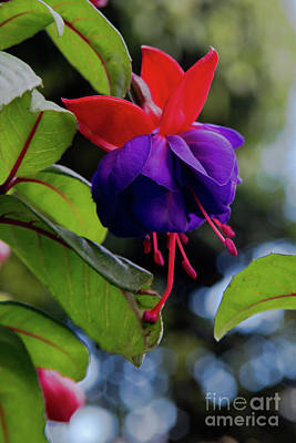Photograph - Fuschia by Kathy McClure