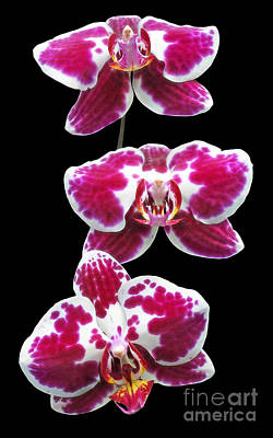 Photograph - Fuschia Orchid Triplets by Sue Melvin