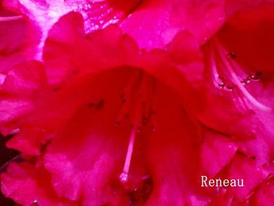 Photograph - Fuschia Rhodie by Sadie Reneau