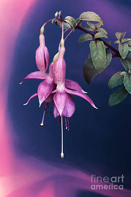 Photograph - Fuschia Swirl by David Birchall