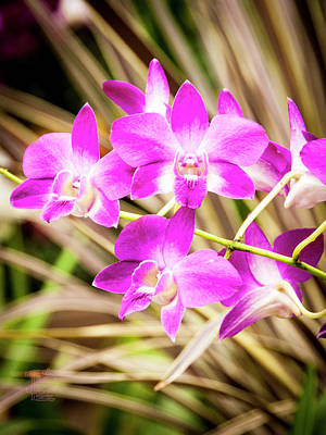 Photograph - Fusha Orchid Flowers by Daniel Hebard