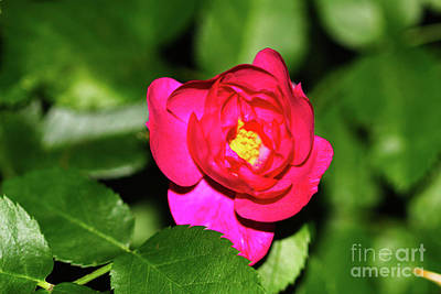 Photograph - Fuschia Rose V2 by Donna L Munro