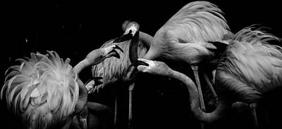 Photograph - Fussing Flamingos by Toma Caul