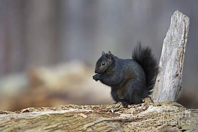Eastern Grey Squirrel Photograph - Fuzzball.. by Nina Stavlund