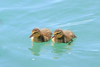 Photograph - Fuzzy Ducks by Shoal Hollingsworth