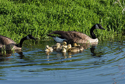 Photograph - Fuzzy Goslings by Robert Potts