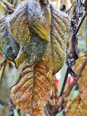 Photograph - Fuzzy Leaf Abstract by Maria Urso