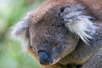 Marsupial Photograph - Fuzzy by Mike  Dawson