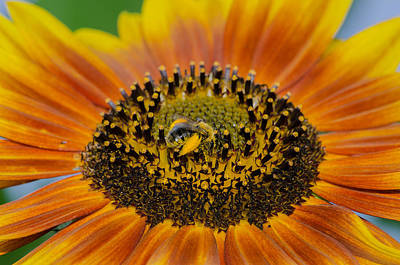 Sunflower Photograph - Fuzzy Yellow Bee On Sunflower by Linda  Howes