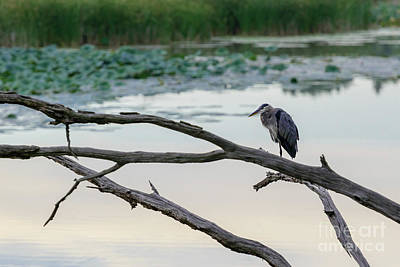 Photograph - Fx115a-13 Heron by Ohio Stock Photography