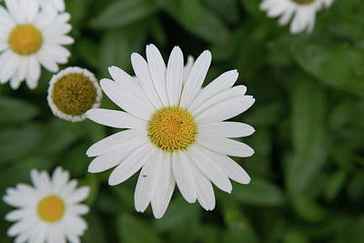 Photograph - Fx1m-18 Daisy by Ohio Stock Photography