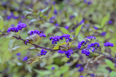 Photograph - Fx1m-9 Purple Berries by Ohio Stock Photography