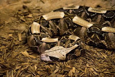Photograph - Gaboon Viper Resting 1 by Douglas Barnett