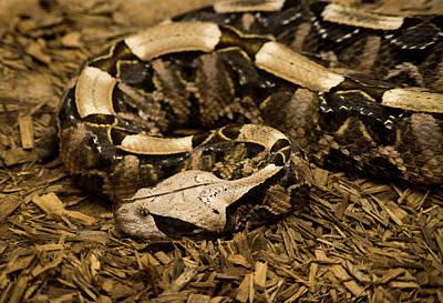 Rhinoceros Photograph - Gaboon Viper Resting 2 by Douglas Barnett