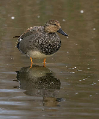 Photograph - Gadwall by Doug Herr