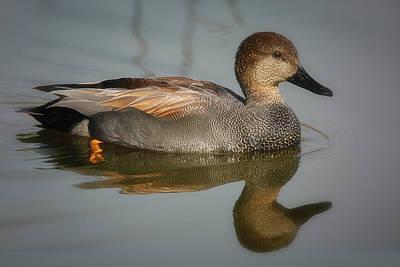 Photograph - Gadwall Duck, Drake by Craig Strand