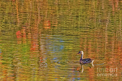 Photograph - Gadwall In Fall by Gary Holmes