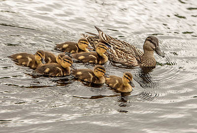 Photograph - Gadwall With Chicks by Gordon Ripley