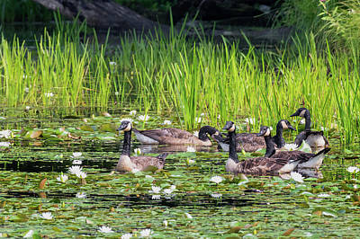 Photograph - Gaggle Of Geese by Bill Wakeley
