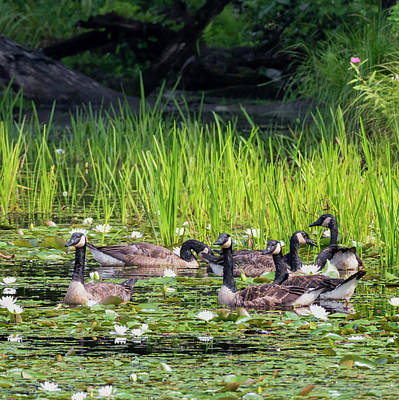 Photograph - Gaggle Of Geese Square by Bill Wakeley