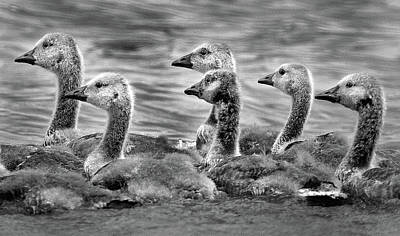 Photograph - Gaggle Of Goslings by Jamieson Brown